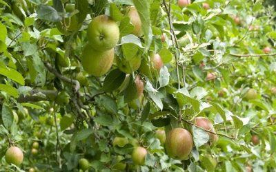 शुरू करें सेब की खेती, बढ़ता जाएगा मुनाफा